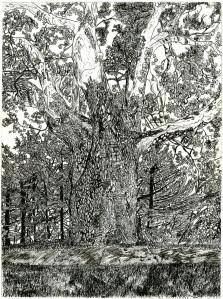 Sunderland Sycamore Tree, Sunderland, Massachusetts, October 1991, ink, 22
