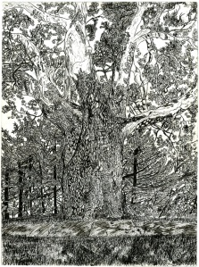 Sunderland Sycamore Tree, Sunderland, Massachusetts, October 1991, ink, 22